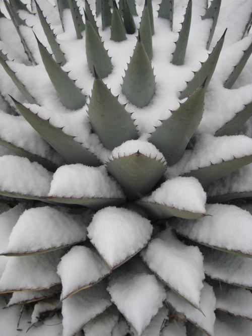 Snowplant