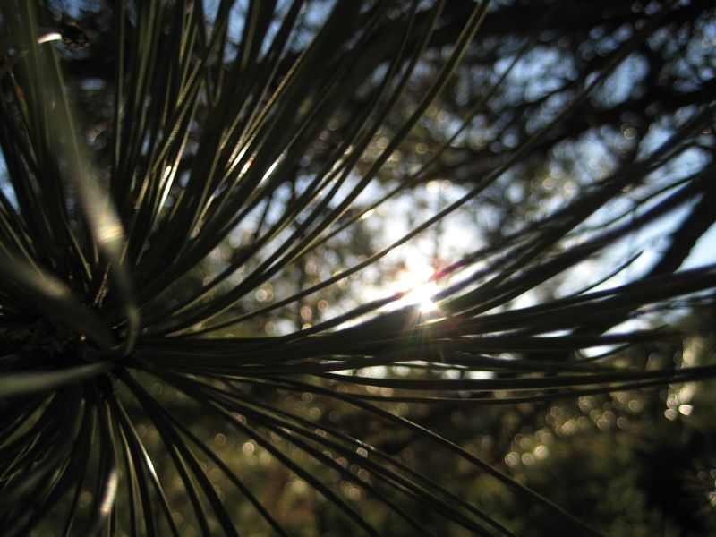 Pinelight 1