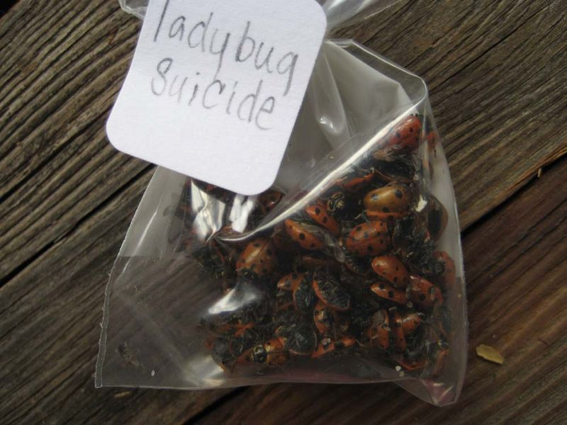 Ladybug suicide