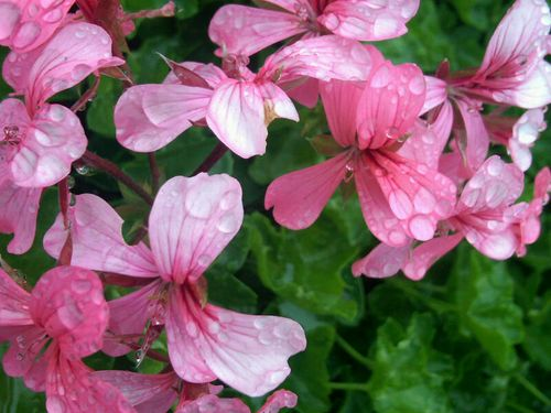 Pink flowers with watedrops